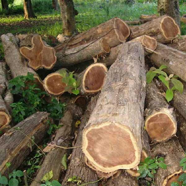 teak-wood-logs